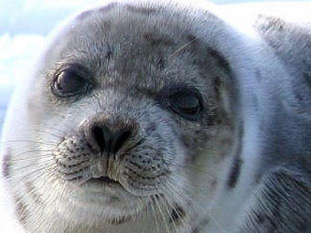 Рыбаки Тупкараганского района обнаружили  на Каспии  слепых тюленей