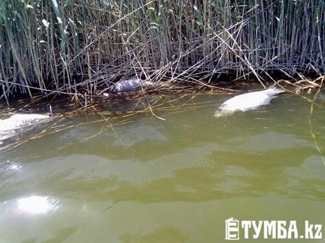 Массовая гибель рыбы произошла на Каражанбасе