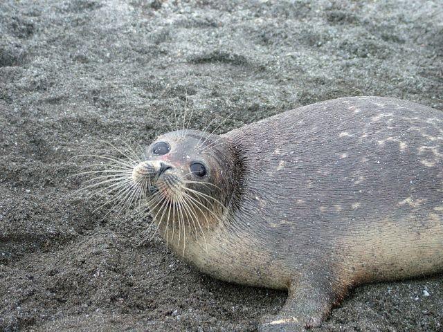Мониторинг за тюленями в Каспийском море будут вести с космоса