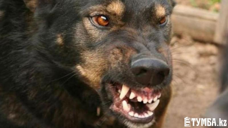 Собака напала на двухлетнего ребенка в Мангистауской области